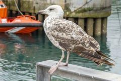 Breeding seagull in the port. Maritime LLanes, Asturias, Spain Stock Image