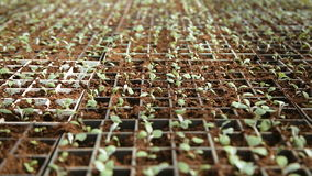 Breeding seedling plants stock footage