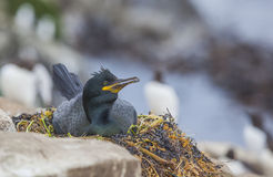 Breeding shag. At the Farne Islands in Northumberland Royalty Free Stock Photos