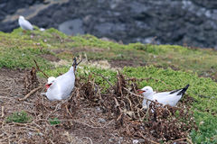 Breeding Silver Gulls Royalty Free Stock Images