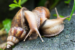Breeding of snail Stock Images