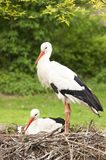 Breeding storks Royalty Free Stock Photography