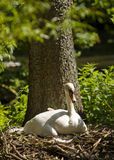 Breeding swan Royalty Free Stock Image