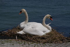 Breeding swans Royalty Free Stock Image