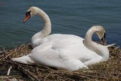 Breeding swans Stock Image