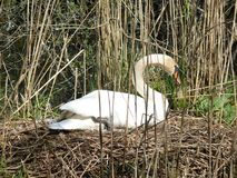 Breeding White Swan royalty free stock photos