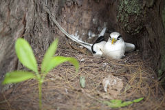 Breeding white-tailed Tropic bird 2 Stock Photo