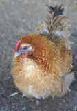 Breeds curly chicken in the farm Stock Images