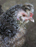 Breeds curly chicken in the farm Royalty Free Stock Photo