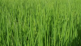 Breeze blowing through rice crops stock footage