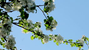 Breeze blowing on white blooming apple tree stock video