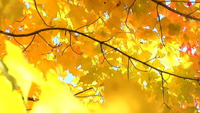 Breeze blows through leaves. Gentle breeze blows through yellow leaves stock footage
