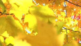 Breeze blows through yellow leaves. Gentle breeze blows through yellow leaves stock footage