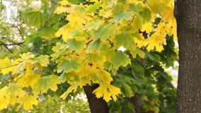 Breeze rustles the leaves of maple tree stock video