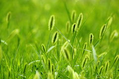 The breeze in the Setaria viridis Stock Photos