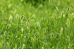 The breeze in the Setaria viridis Royalty Free Stock Photo