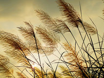 Breeze swaying the grass. With sunset sky background royalty free stock photography