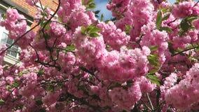Breezy dag rosa Kwanzan Cherry Blossoms arkivfilmer