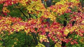 Breezy Fall Color Loop stock video