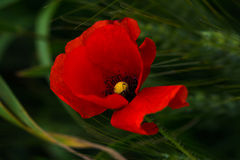 Breezy. Portrait of poppy flower. Photography of nature Stock Photo
