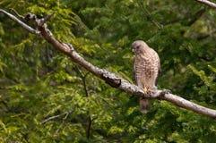 Breit-geflügelter Falke Lizenzfreies Stockbild