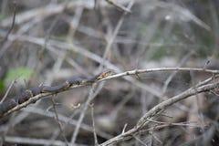 Breit-mit einem Band versehene aalende Wasser-Schlange Stockbild