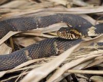 Breit-mit einem Band versehene Wasser-Schlangennahaufnahme Lizenzfreie Stockfotos