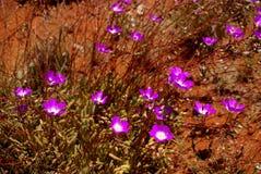 Breitblättrige Parakeelya-Blumen in der australischen Wüste Lizenzfreie Stockfotografie