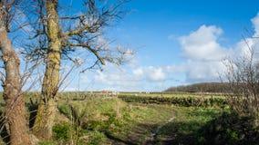Breite Ansicht über niederländische Landschaft mit Schafen, Wiese und bewölkten Himmeln Stockbild