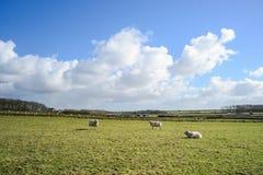 Breite Ansicht über niederländische Landschaft mit Schafen, Wiese und bewölkten Himmeln Lizenzfreie Stockfotografie