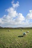 Breite Ansicht über niederländische Landschaft mit Schafen, Wiese und bewölkten Himmeln Stockfotografie