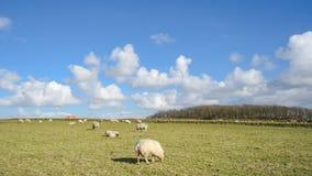 Breite Ansicht über niederländische Landschaft mit Schafen, Wiese und bewölkten Himmeln Stockfoto
