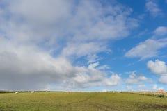 Breite Ansicht über niederländische Landschaft mit Schafen, Wiese und bewölkten Himmeln Lizenzfreie Stockbilder