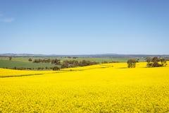 Breite Ansicht des Canolafeldes im Barossa Valley, Süd-Australien Stockbild
