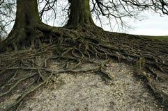 Breite ausgebreitete Wurzeln Stockfoto