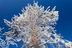 Breite und große Niederlassungen der enormen Kiefer im Winterwald und des blauen Himmels als Hintergrund am eisigen sonnigen Tag Lizenzfreies Stockbild