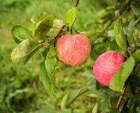 Breiten Sie sich mit Äpfeln aus Stockfotografie