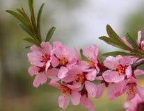 Breiten Sie sich mit Blumen der Mandel aus Lizenzfreie Stockbilder