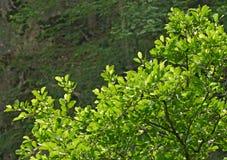 Breiten Sie sich mit den grünen Blättern aus Stockfotografie
