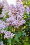 Breiten Sie sich mit Frühlingsfliederblumen aus Lizenzfreies Stockfoto