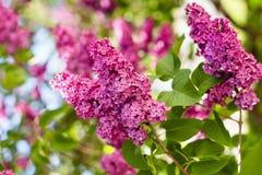 Breiten Sie sich mit Frühlingsfliederblumen aus Lizenzfreie Stockfotos