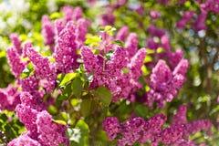 Breiten Sie sich mit Frühlingsfliederblumen aus Stockfoto