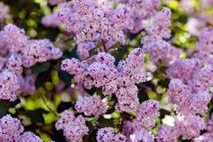Breiten Sie sich mit Frühlingsfliederblumen aus Lizenzfreie Stockfotografie