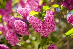 Breiten Sie sich mit Frühlingsfliederblumen aus Lizenzfreies Stockbild