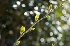 Breiten Sie sich mit jungen Blättern aus Lizenzfreie Stockfotos