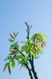 Breiten Sie sich mit jungen Blättern aus lizenzfreies stockbild