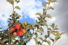 Breiten Sie sich mit reifen Äpfeln aus Stockfotografie