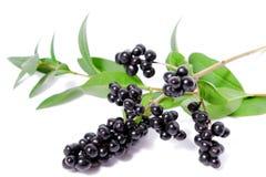 Breiten Sie sich mit schwarzen Beeren aus Stockfotos