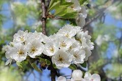 Breiten Sie sich mit weißen Blumen aus Lizenzfreie Stockfotos
