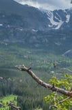 Breiter angebundener Kolibri, der auf Kiefernzweigbaum mit Berg sitzt Stockfoto